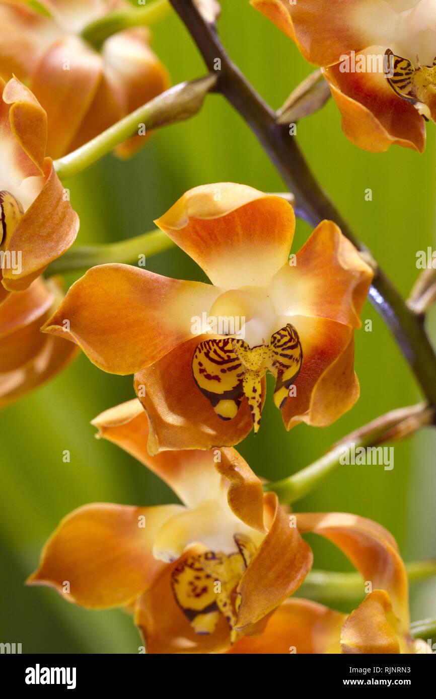 (Neomoorea Neomoorea irrorata) Stockbild