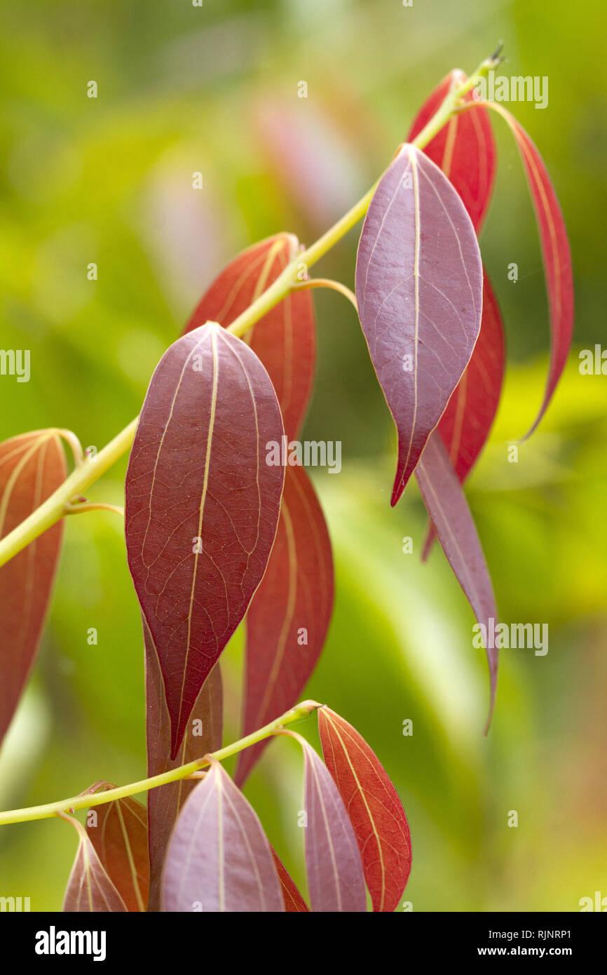 Zimt (Cinnamomum insularimontanum) Stockbild
