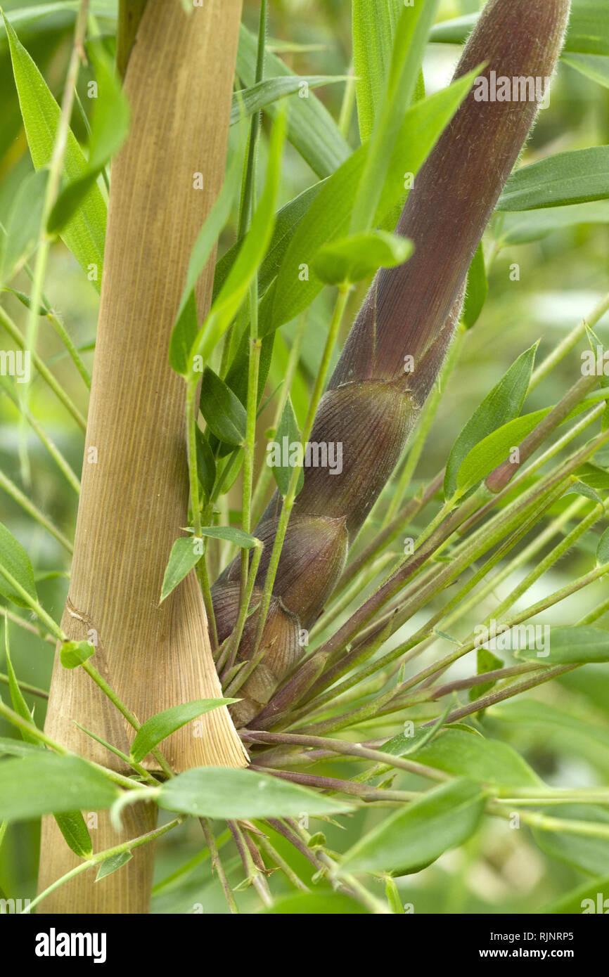Neue schießen, die sich aus einem Knoten von chusquea Bambus (Chusquea valdiviensis) Stockbild