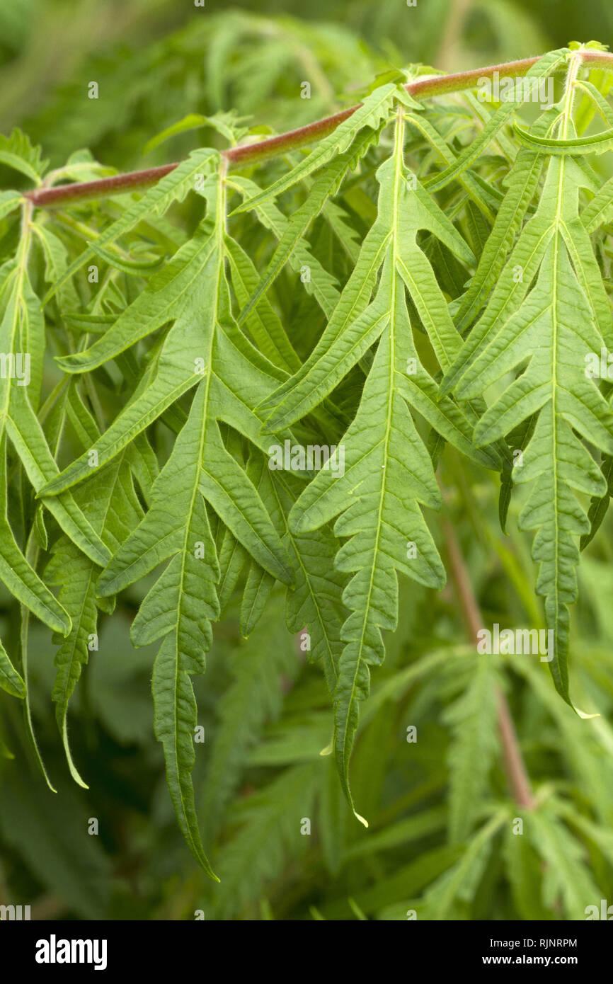 Cutleaf staghorn Sumac (Rhus typhina) 'Dissecta' Stockbild