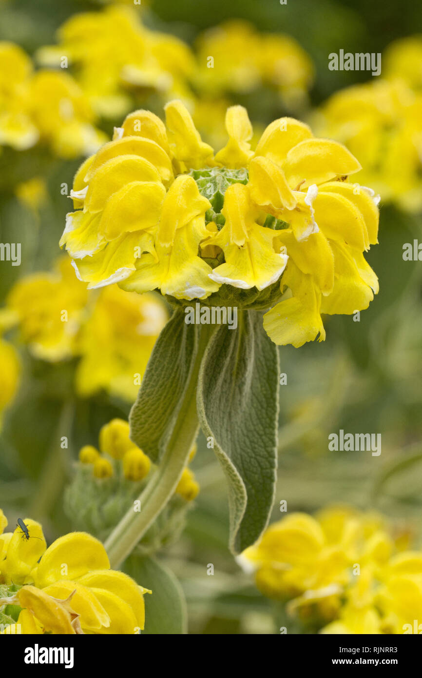Jerusalem Salbei (Phlomis Fruticosa) Stockbild
