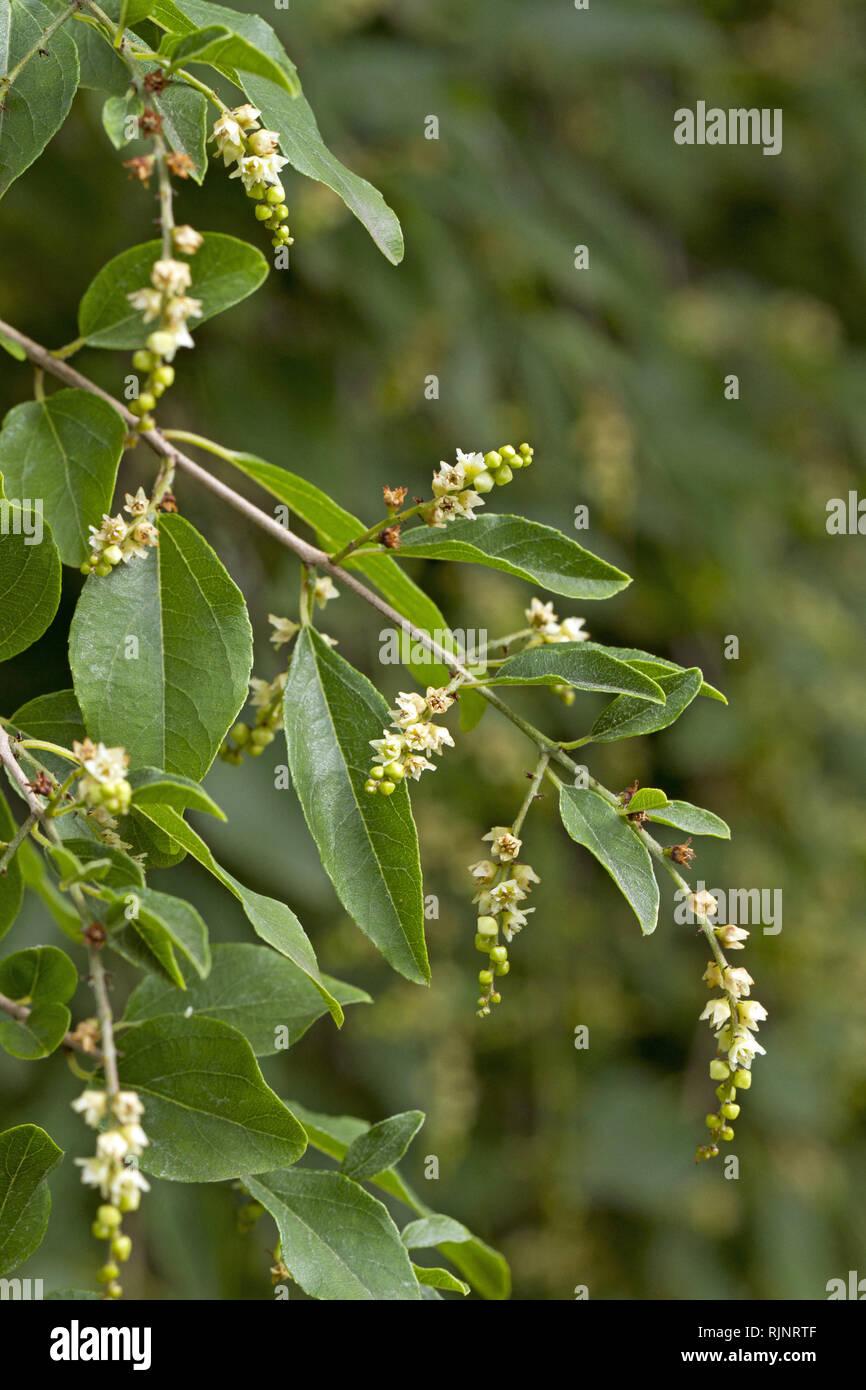 Sageretia (Sageretia pycnophylla Auslese) Stockbild