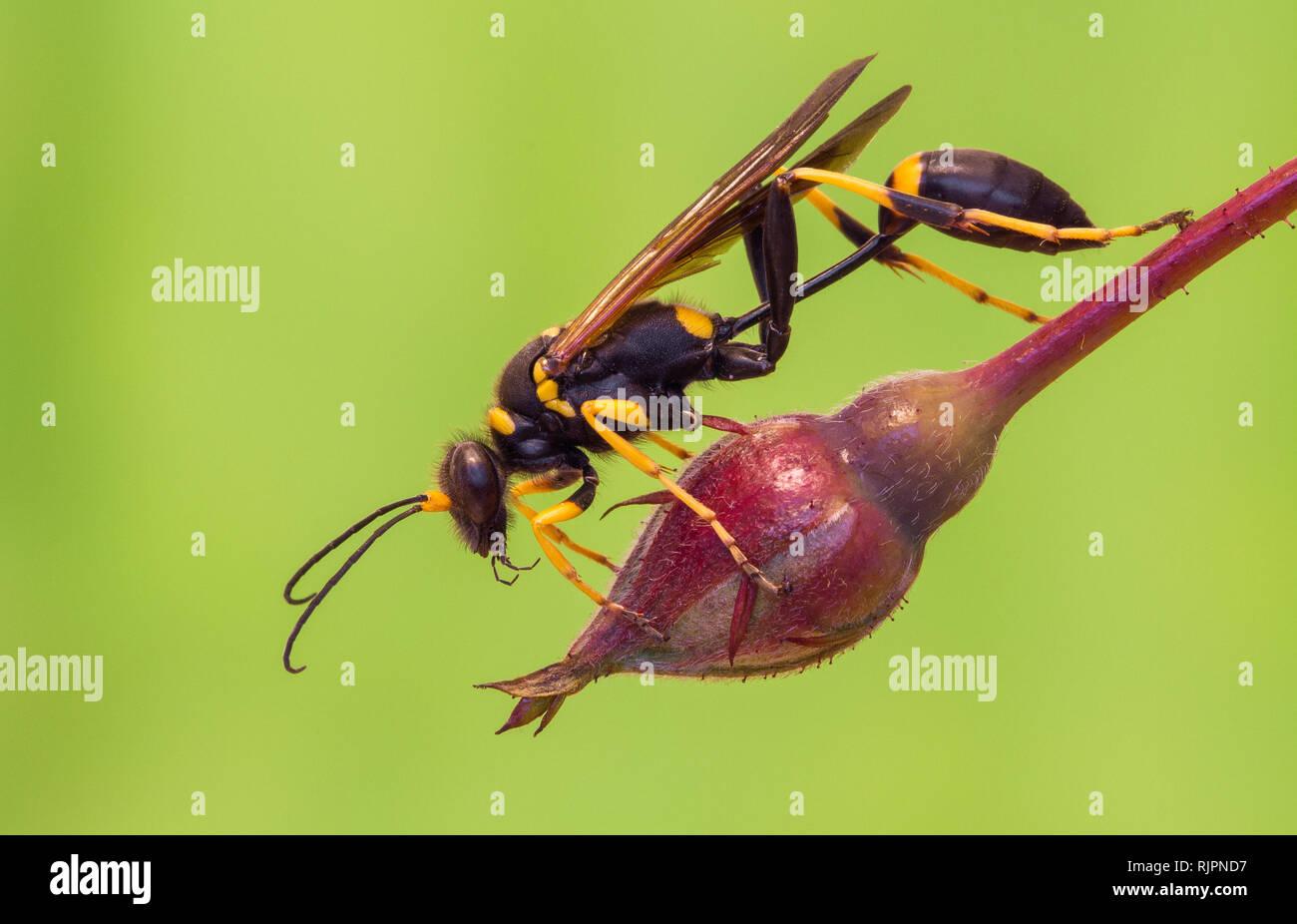 Wildlife Makro Foto von Schlamm dauber Wasp Stockbild