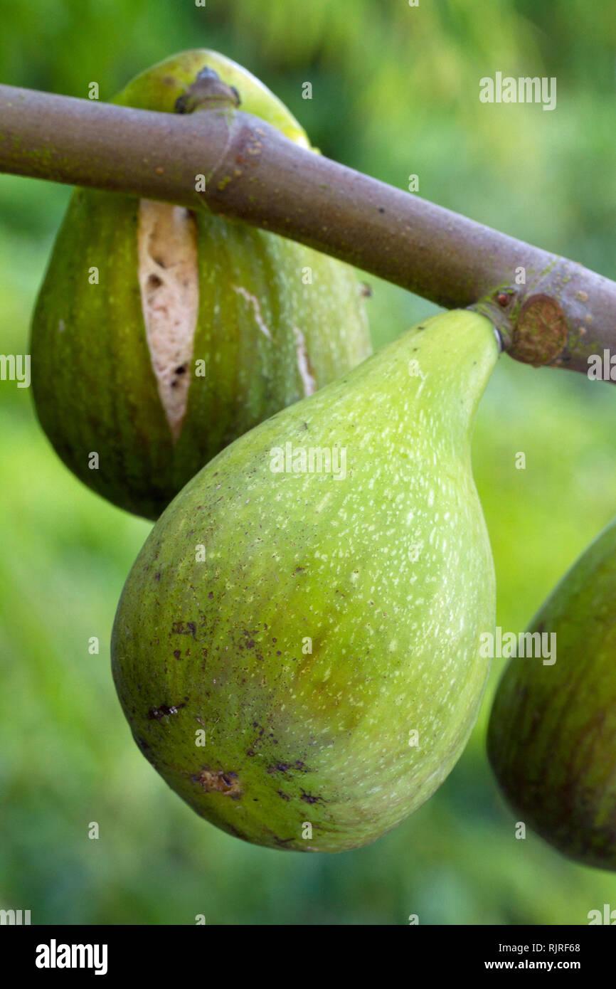 Feigenbaum (Ficus Carica) 'Dalmatia' Stockbild