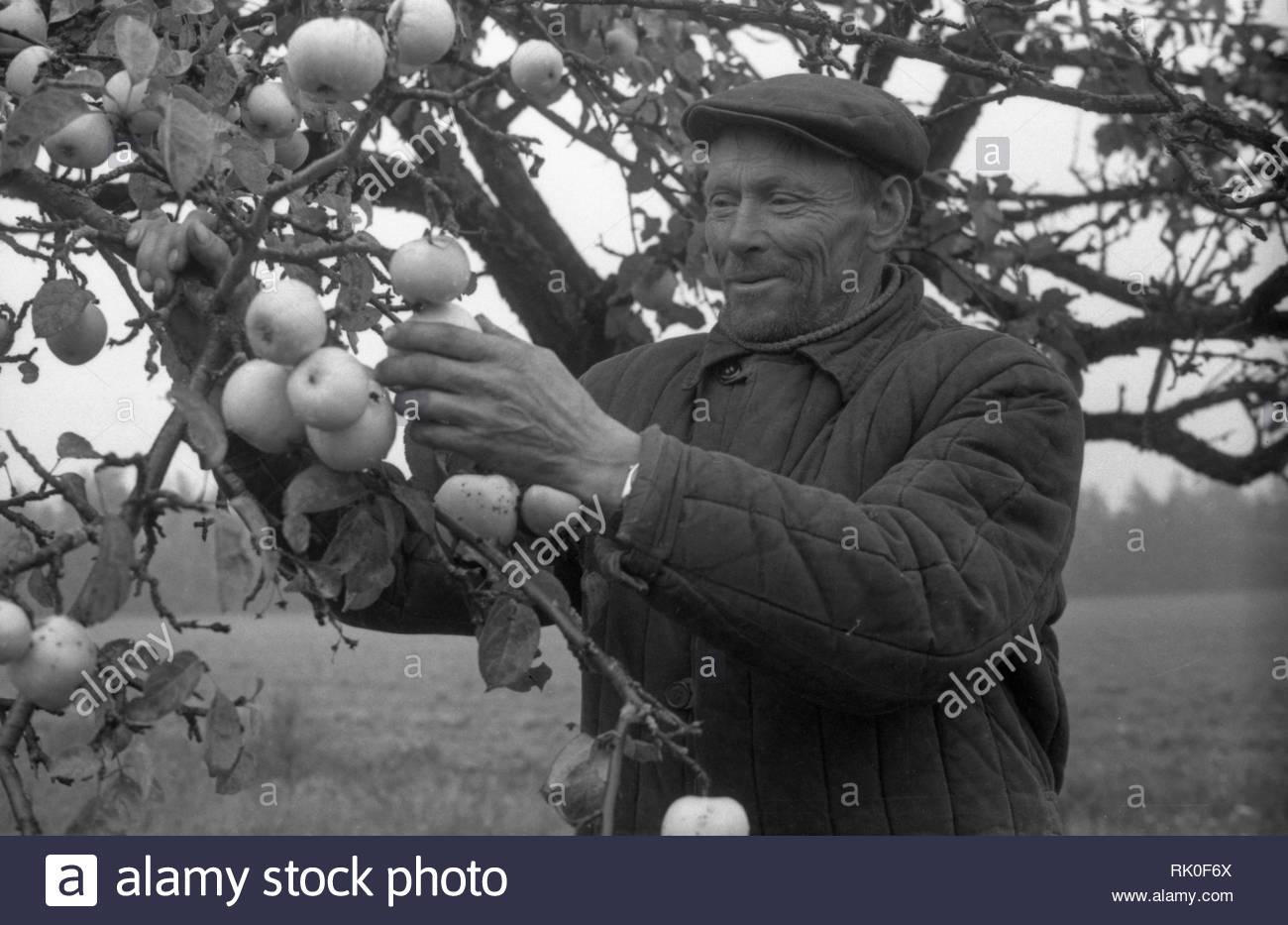 Eine ältere Dorfbewohnerin steht in der Nähe eines Apple Baum in seinem Garten. Herbst. Auf dem Baum ist fast keine Blätter. Sie sind fiel weg. Allerdings gibt es noch eine Menge kleine Äpfel auf den Zweigen. Der Mann berührt die Frucht des Baumes. Auf seinem Gesicht es ist ein Genuss und Zärtlichkeit der Früchte tragenden Baumes. Er trägt gefütterte Jacke. Die Kappe auf dem Kopf. Das Gesicht der Dorfbewohner ist zerknittert. Es ist klar, dass alle seine Leben, das Er in harter körperlicher Arbeit beschäftigt war. Stockbild