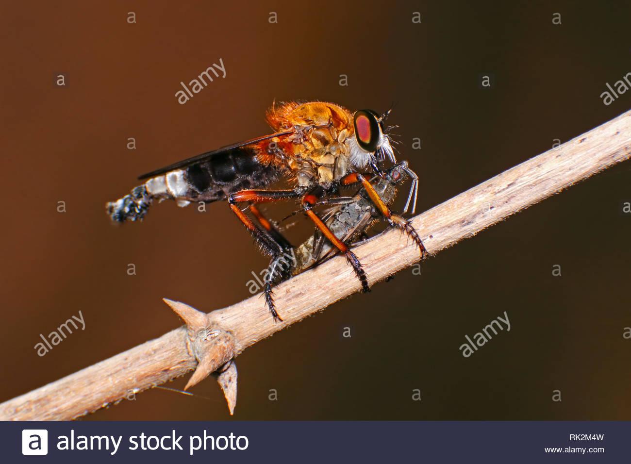 Makroaufnahme eines Räuber fliegen Asilidae essen Insekt Stockbild