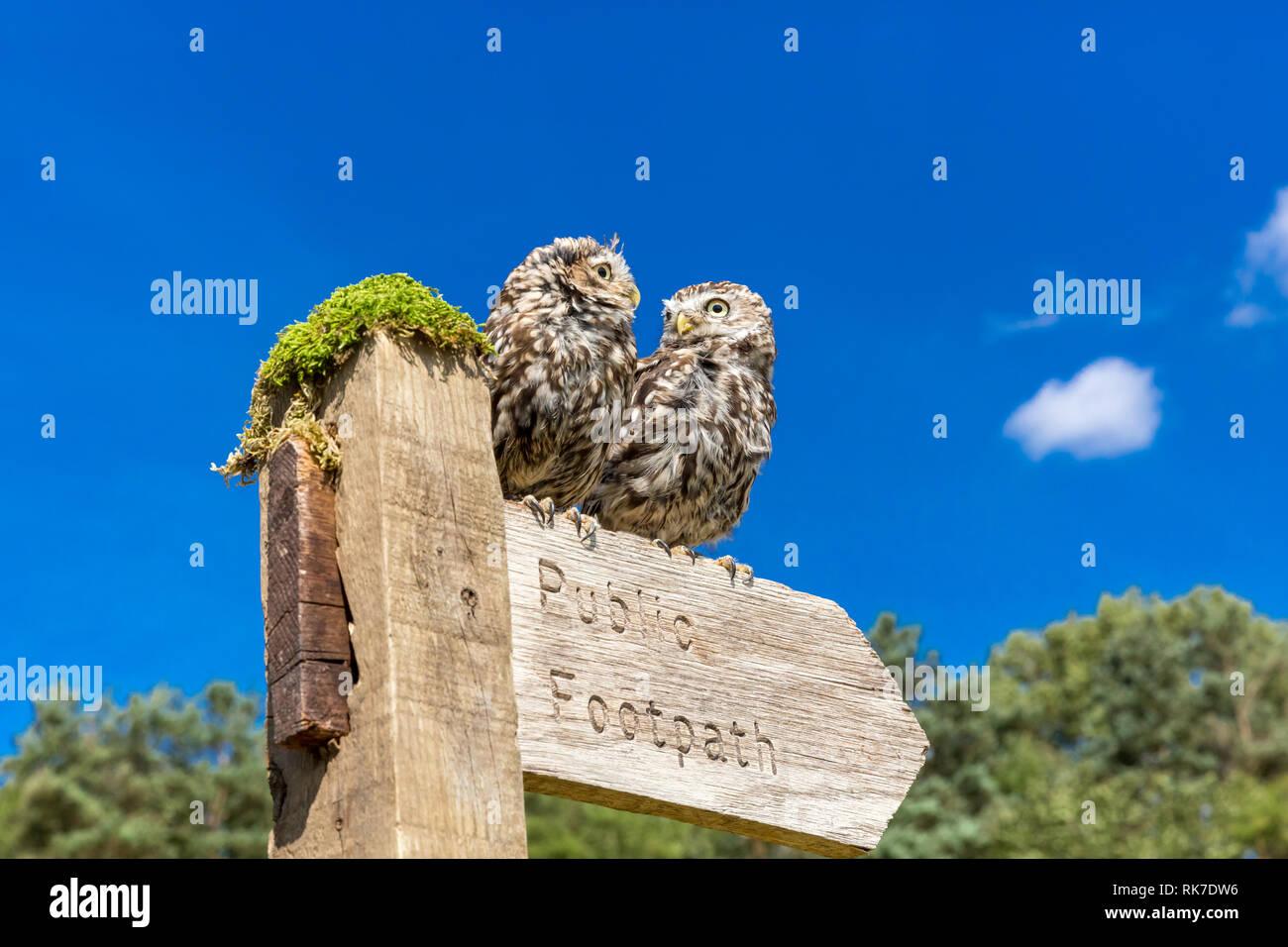 Zwei kleine Eulen in natürlichen Landschaft, thront auf einem öffentlichen Fußweg Wegweiser, der nach rechts weist. Strahlend blauen Himmel. Landschaft Stockbild