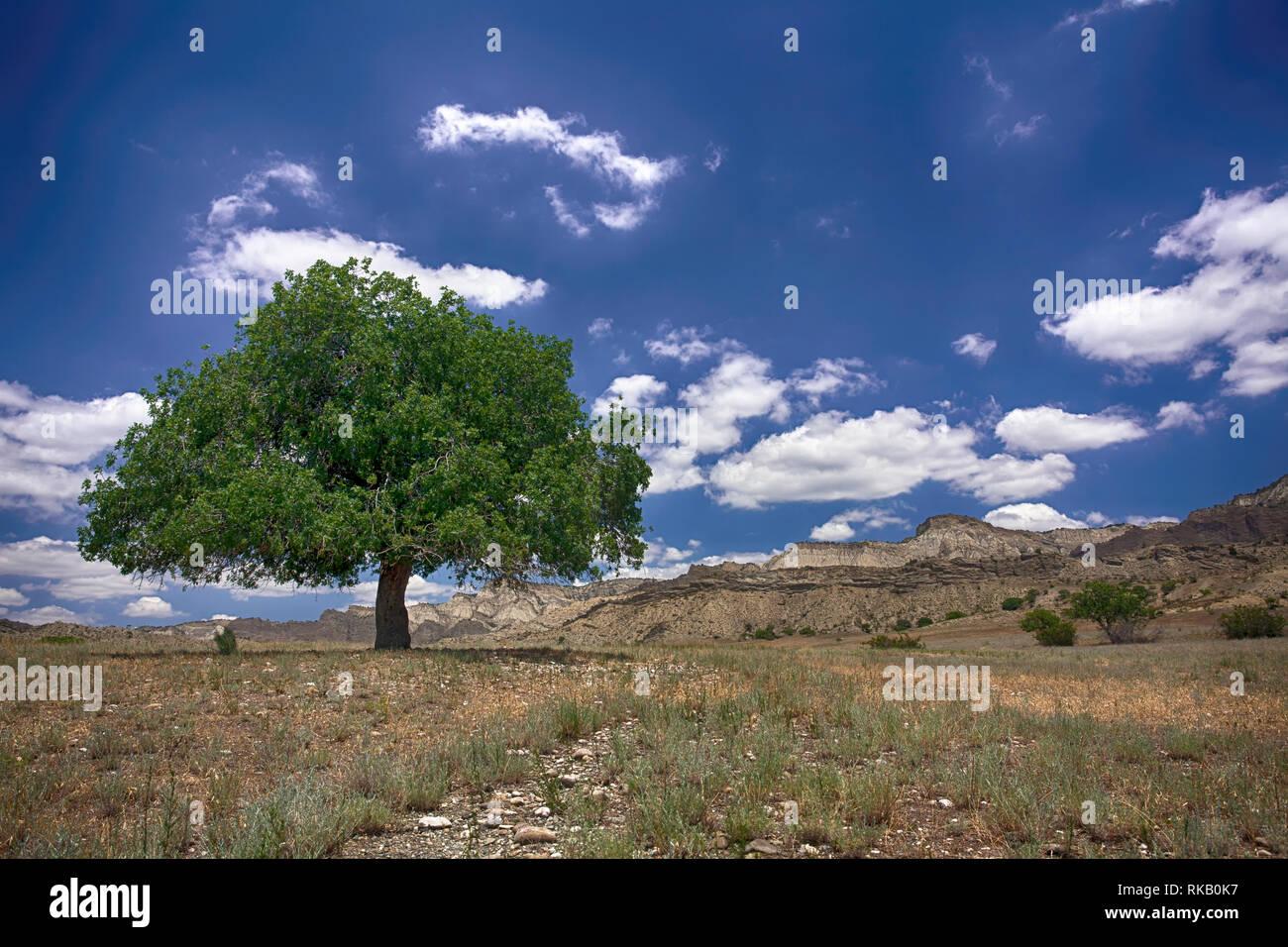 Wilder Pistazienbaum in der georgischen Steppe - Nationalpark Vashlovani Stockbild