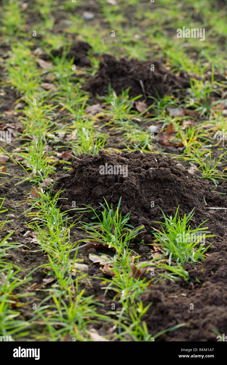Maulwurfhügel. (Talpa europaea). Verwöhnen Boden auf ein Müsli, landwirtschaftlicher Bereich Oberfläche, die Schaffung einer Reihe von Hügeln, die jeweils durch eine Mole trat unterirdischen Tunnel gegraben. Unterbrechung sprießen Weizen Sämlinge. ? Stockbild
