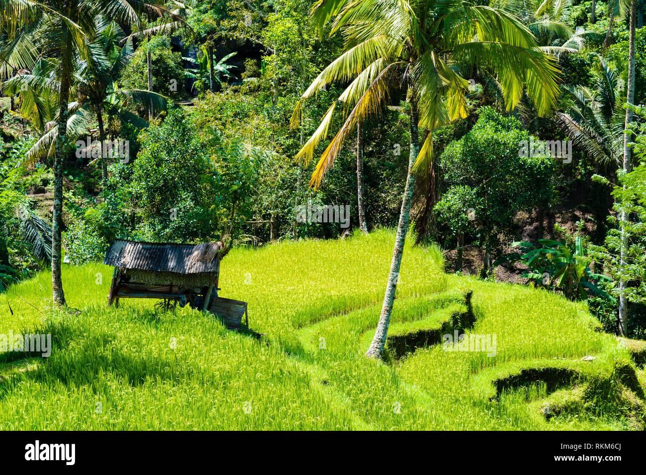 Blick über Terrasse Reisfelder und Kokospalmen in Asien. Stockfoto
