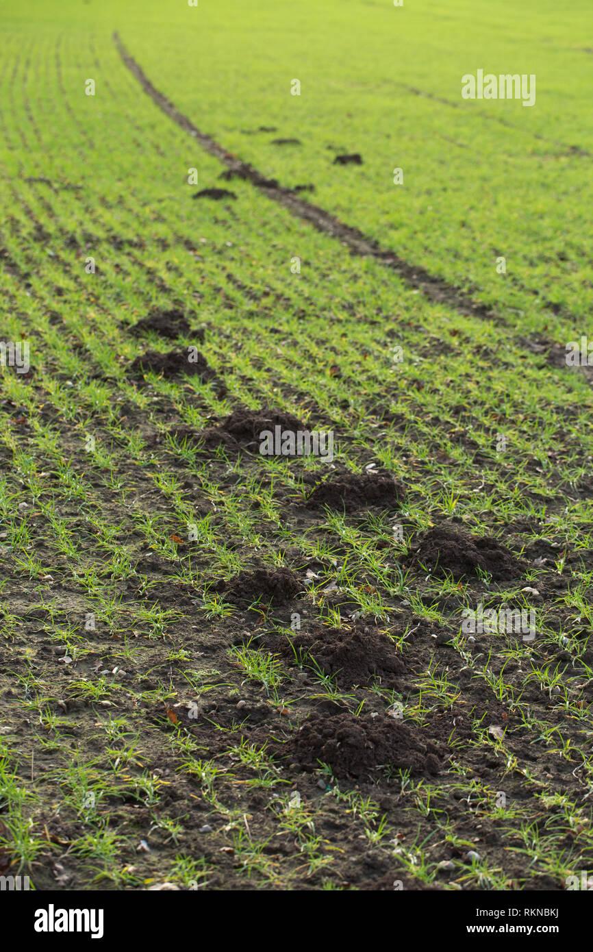 Maulwurf (Talpa europaea). Berge oder Hügel, durch ein einziges Tier erstellt, über einem getreideanbau landwirtschaftlicher Bereich. Ingham. East Anglia. Norfolk. Großbritannien. ? Stockbild