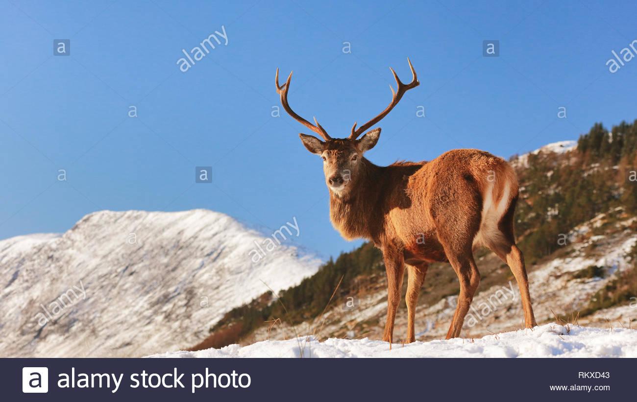 Schottische Red Deer Stag stehen auf einer schneebedeckten Landschaft der schottischen Highlands. Stockfoto