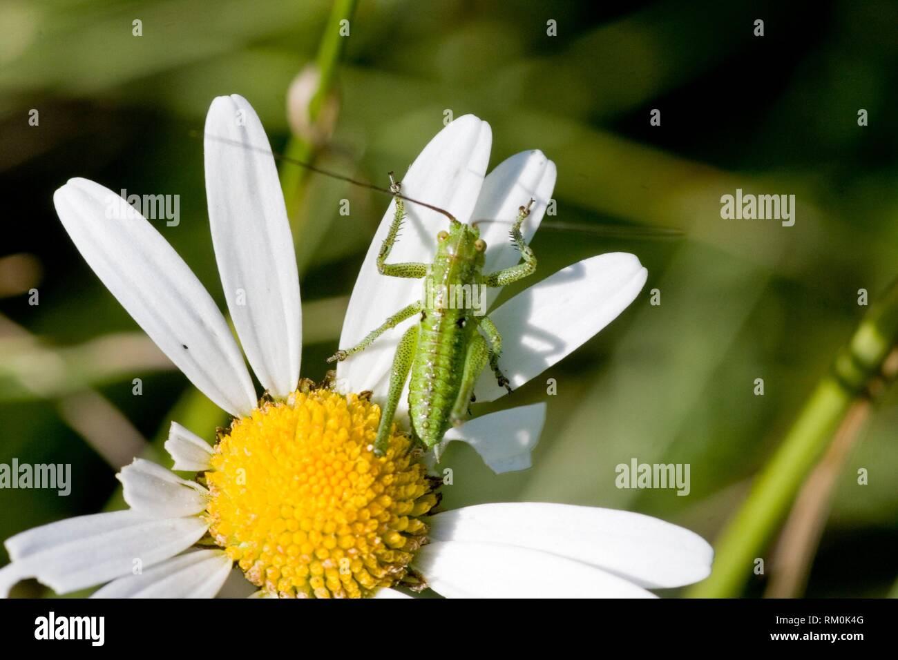 """Super Green Bush Cricket, Tettigonia Viridissima. Ausgewachsene Größe: 28.. """"36 mm. Fleischfressende, essen andere Insekten und Larven. Pflanzenschutz im Ackerbau: Weizen, Stockbild"""