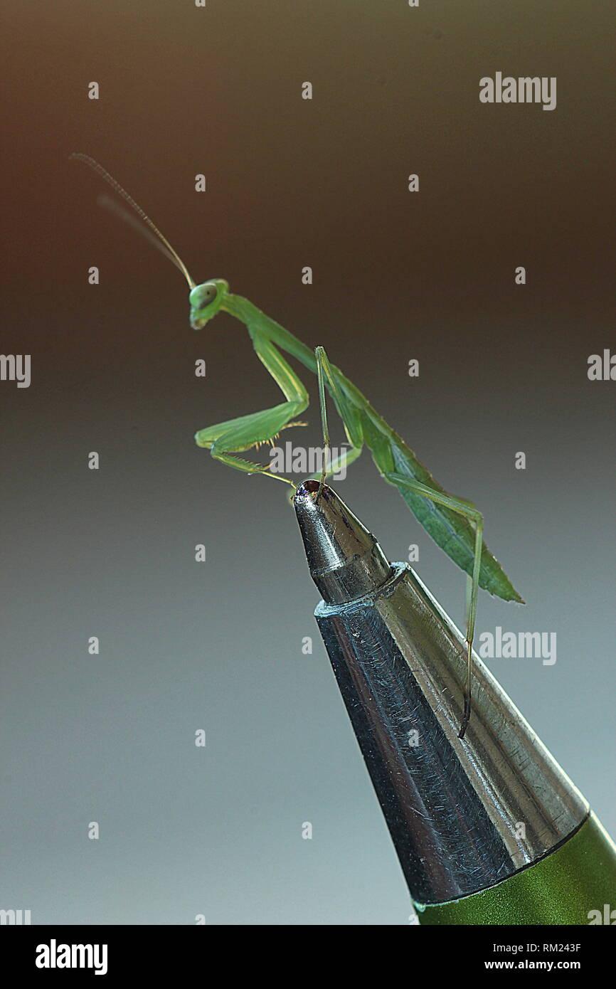 Juvenile preying Mantis auf Kugelschreiber nib Stockbild