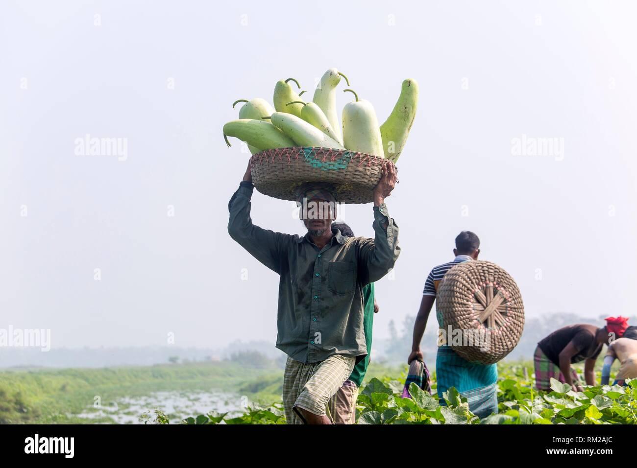 Die Arial Beel (Wasser Körper) von Munshiganj berühmt für die besondere Art der großen mittelständischen süße Kürbisse, die lokalen Erzeuger sind die riesige Stockfoto