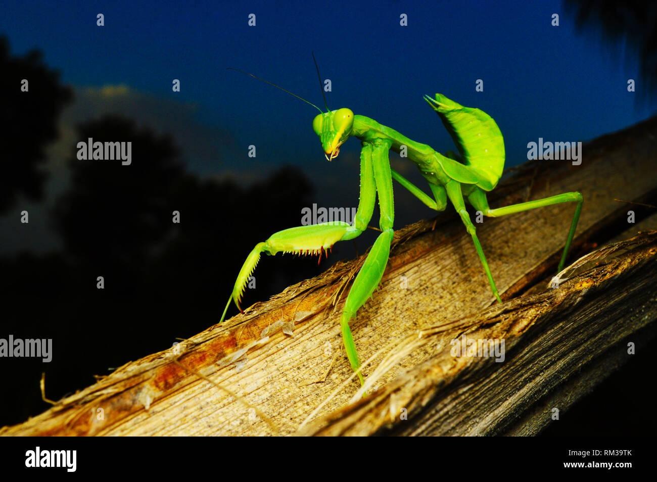 Grüne preying mantis - Hirodula, Nahaufnahme, Satara, Maharashtra, Indien Stockbild