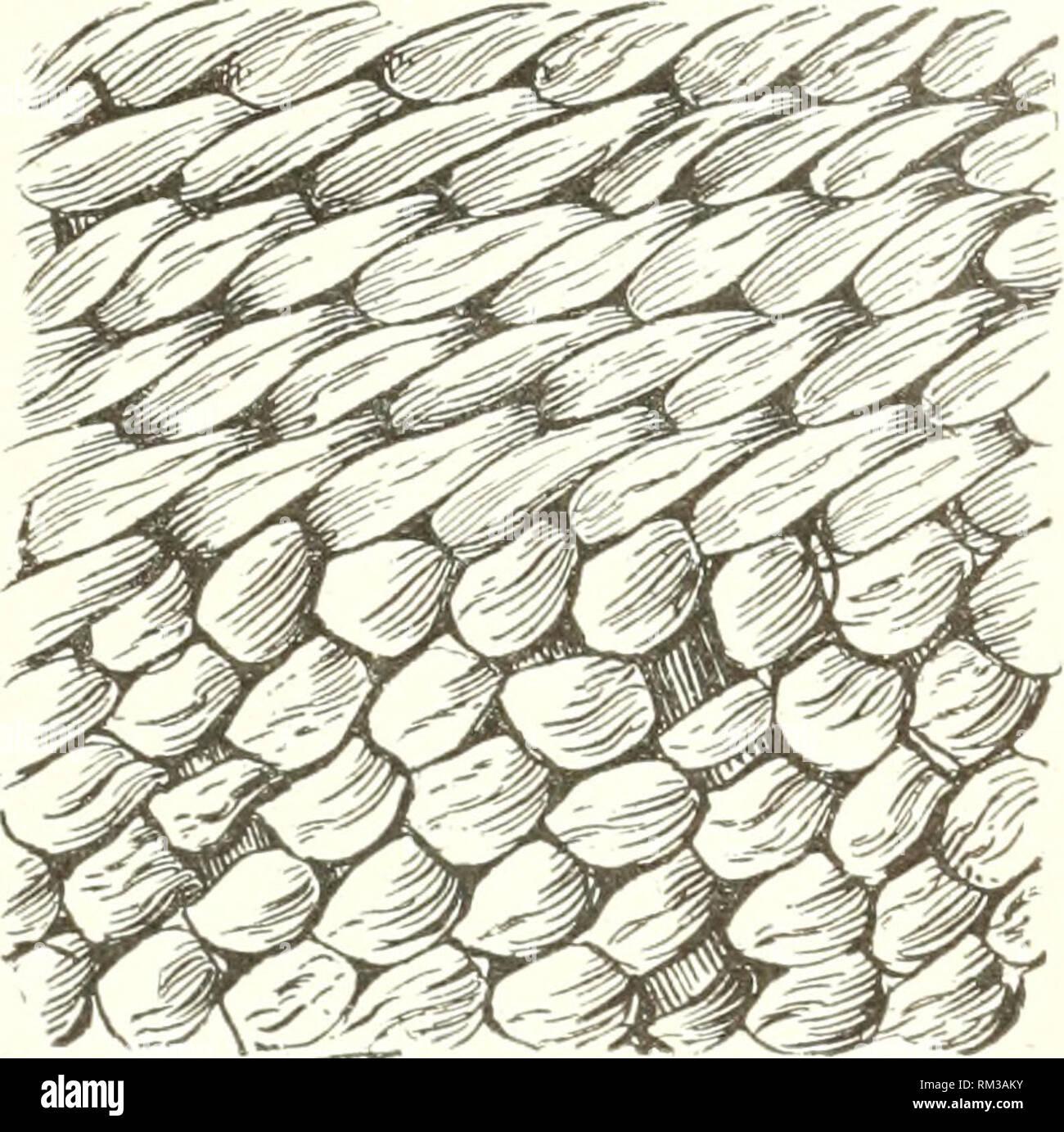 . Jahresbericht des Verwaltungsrats der Smithsonian Institution. Smithsonian Institution; Smithsonian Institution. Archive; Entdeckungen in der Wissenschaft. ABORIGINAL AMP: KirAN BASKP: VERSUCHEN SIE, 24: eine iiiid über den Anderen des reinaiiniio - zwei chMiieuts, ist es (? iirri (Hl]) eliind; ich Warp. Stengel. Diese i) roeess besser verstanden wird. l) y ex {uninin zu diskriminieren, V) Wischen 3-Strang Garn und 3-Strang Geflecht. Th (^3-Strang Zopf findet sich der Ausgangspunkt aller Pomo gezwirnter]) askets, egal wie der Rest ist]) uilt. Abb. 83 ist ein eonieal earr 3'ing]) asket der Klamath Indianer von Oregon, Co Stockbild