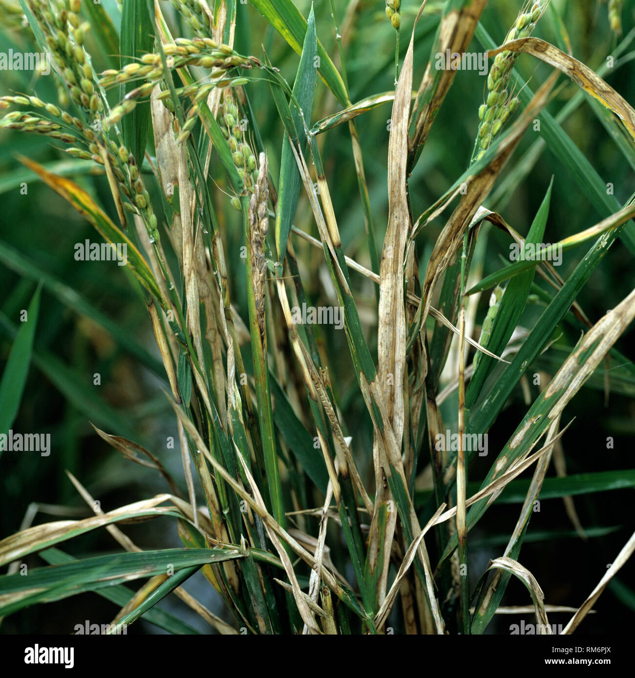 Ummantelung Trockenfäule, Rhizoctonia solani, Krankheit infiziert die Ernte von Reis, Luzon, Philippinen Stockbild
