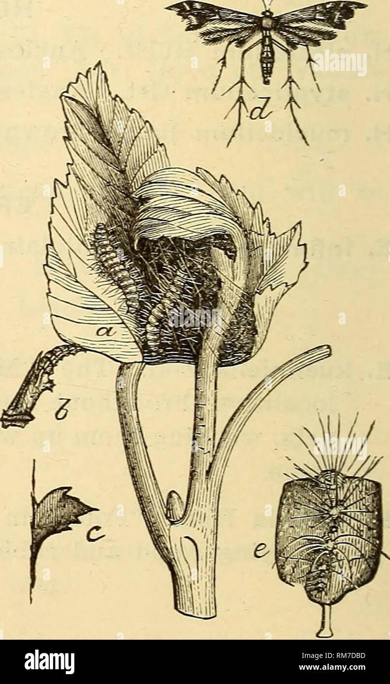 """. Jahresbericht einschließlich eines Berichts der Insekten von New Jersey, 1909. 536 BERICHT DER NEUEN JERvSEY STATE MUSEUM, Sub-Familie Anerastin^. S. approxlmella Wlk. d. (Kf). PEORIA Rag. (Hsematica Zell.) Newark IV und VI (Wdt); g. Familie PTEROPHORID^. In dieser Familie sind die Arten, allgemein bekannt als """"Plume Motten, """"weil die wrings sind in zwei bis fünf Federn oder Federn, die die Arten auf einen Blick erkennbar machen. Die Motten sind alle klein, in der Regel mit disproportionatelj """" lange Beine und ganz schwach in der Struktur. Die Raupen sind behaart und auf den ersten si Stockfoto"""