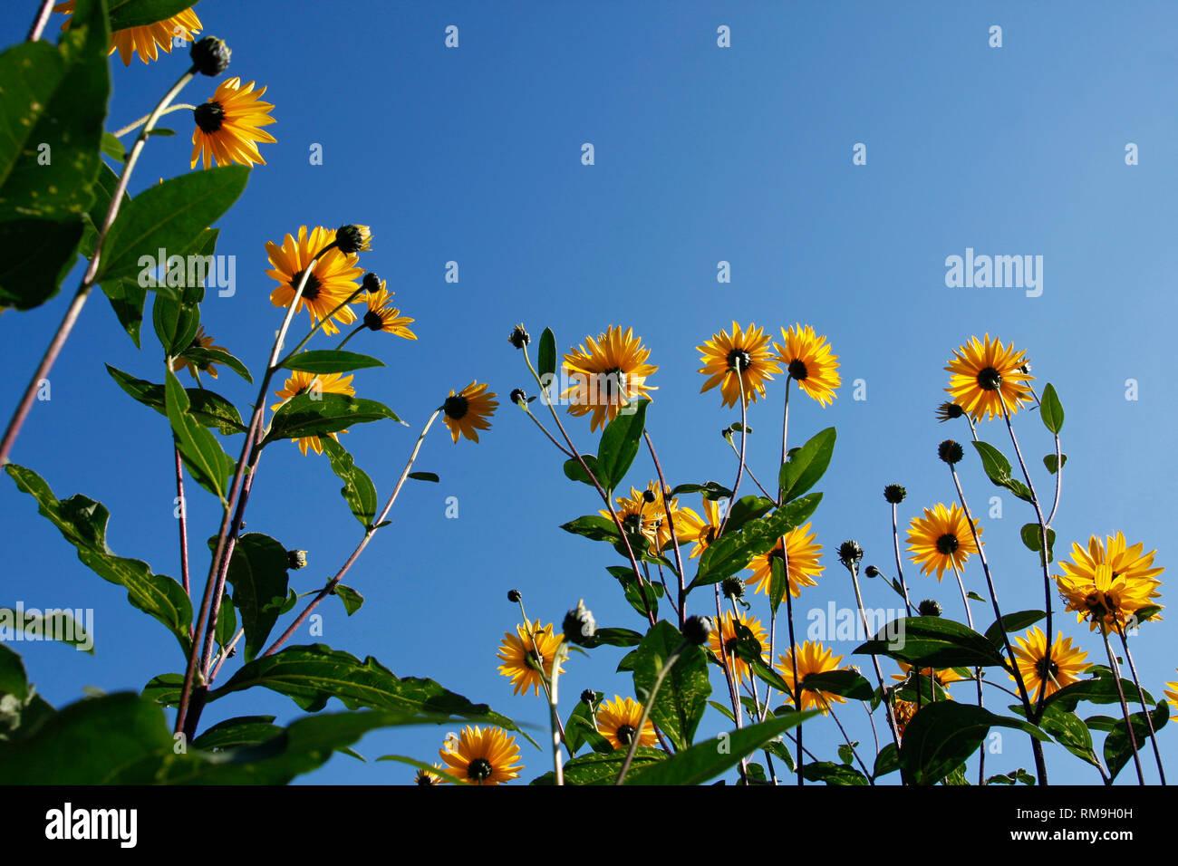 b23f9dc74a68b Große gelbe Sonnenhut aus einem niedrigen Winkel vor einem strahlend blauen  Himmel