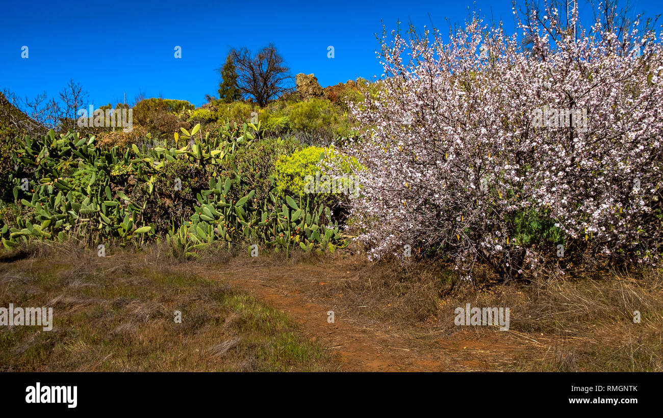 Santiago del Teide, Santa Cruz de Tenerife. Mandelblüte. Stockbild