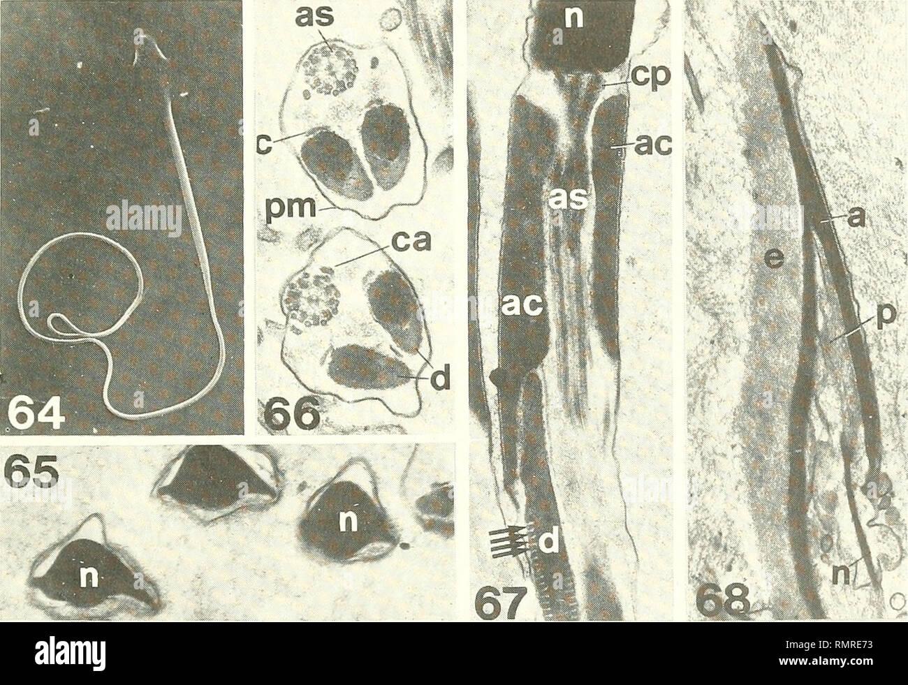 . Annali del Museo Civico di Storia Naturale Giacomo Doria. Natural History. INSETTI ORTOTTKKOIDICI ISOLI -; (1 IU'l MSAKI)! •; 445 Uromenus brevicollis insularis Hacken. Uromenus confusus insularis Chopard, Ann. Soc. Ent. Fr. 92, S. 266, 279) (Uromenus Bolivarius brevicollis insularis, Harz, 1969, Orth. Europ., I, S. 573. Budelli, 10-7-1990, 1 3. Maddalena, Spalmatone, 18-6 -1989, 1 3 ninfa IST. Tavolara, Strada, 29-7-1986, 1e?, 1? Ist. Serpentara, 7-7 -1990, 1? Ist. S. Antioco, Su Pruini, 11-5-1988, 1 neanide; Spiaggia Coaquaddus, 12-17-1988, 1 neanide; Canai, 12-17-1988, 1 neanide; Cala Lun Stockfoto