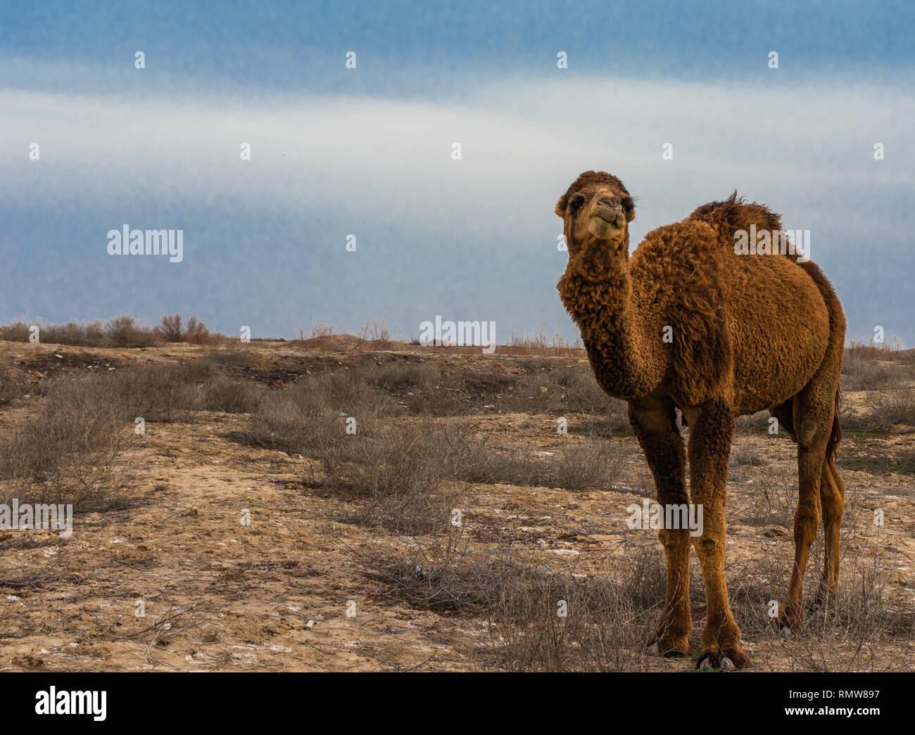 57642794230c Lonely Kamel kauen Eine chemische Unkrautbekämpfung in einer Wüste ...