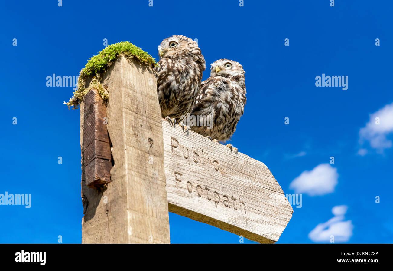 Zwei kleine Eulen in natürlichen Landschaft, thront auf einem öffentlichen Fußweg Wegweiser, der nach rechts weist. Der strahlend blaue Himmel Hintergrund. Stockbild