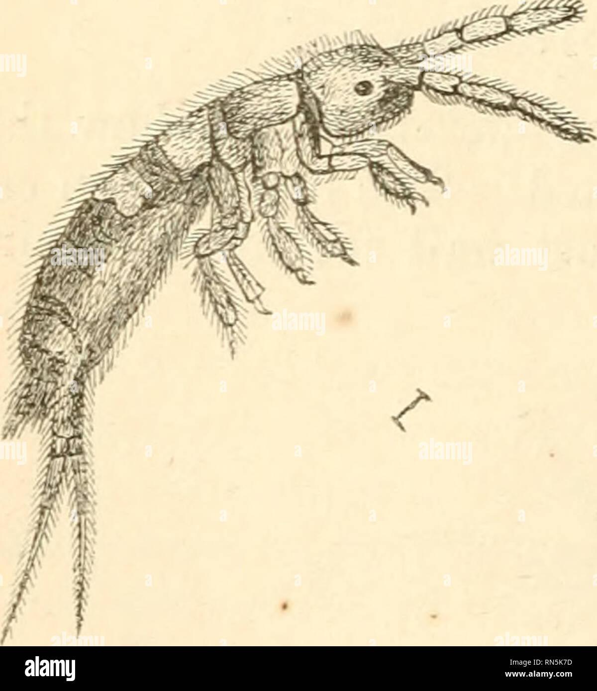 """. Die tierische Erzeugung: Eine populäre Einführung in die Zoologie. Zoologie. 180 THYSANOURA. Diese gefräßigen Maden, in diesem Raum der Zeit an Gewicht zwei hundert Falten, und dass Sie in der Lage die Geburt in kurzer Zeit zu anderen Insekten Legionen sind, spüren wir auf einmal ihre Anpassung an die wichtige Pflicht, so zu Ihnen vertraut ist. Die Spinne Fliegen {Hqopobosca)^ sind parasitäre Und, seltsam zu sagen, ihre Weibchen gebären pujpce statt der Eier oder der larvce, daher wurden sie benannten Pupi-Pam."""" Diese pupaa sind von beträchtlicher Größe, und anfangs sehr weich, aber ihre Haut bald ha Stockbild"""