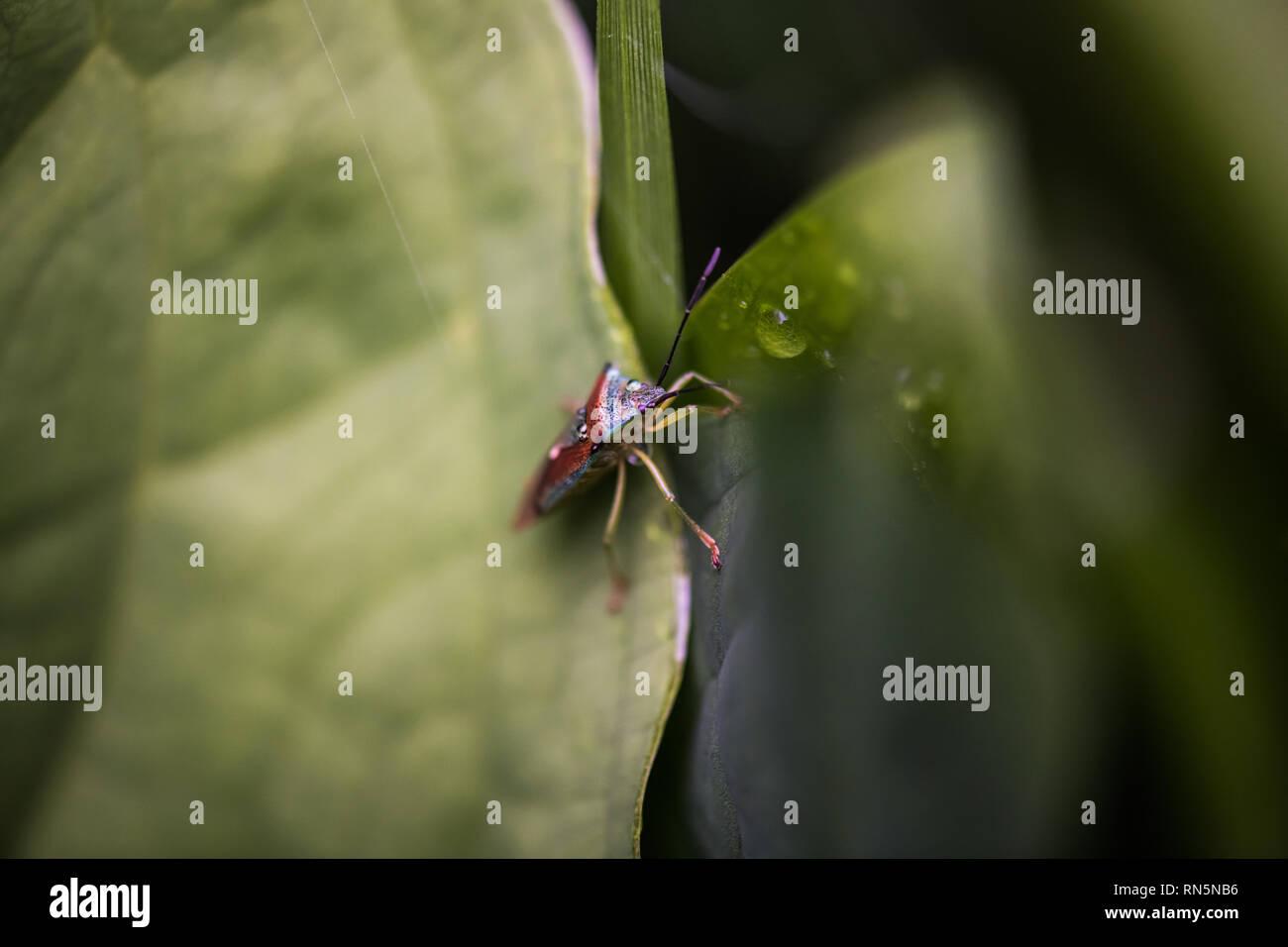 Bunte stinken bug? auf einem grünen Blatt. Tsugaike, Hakuba, Nagano, Japan Stockbild