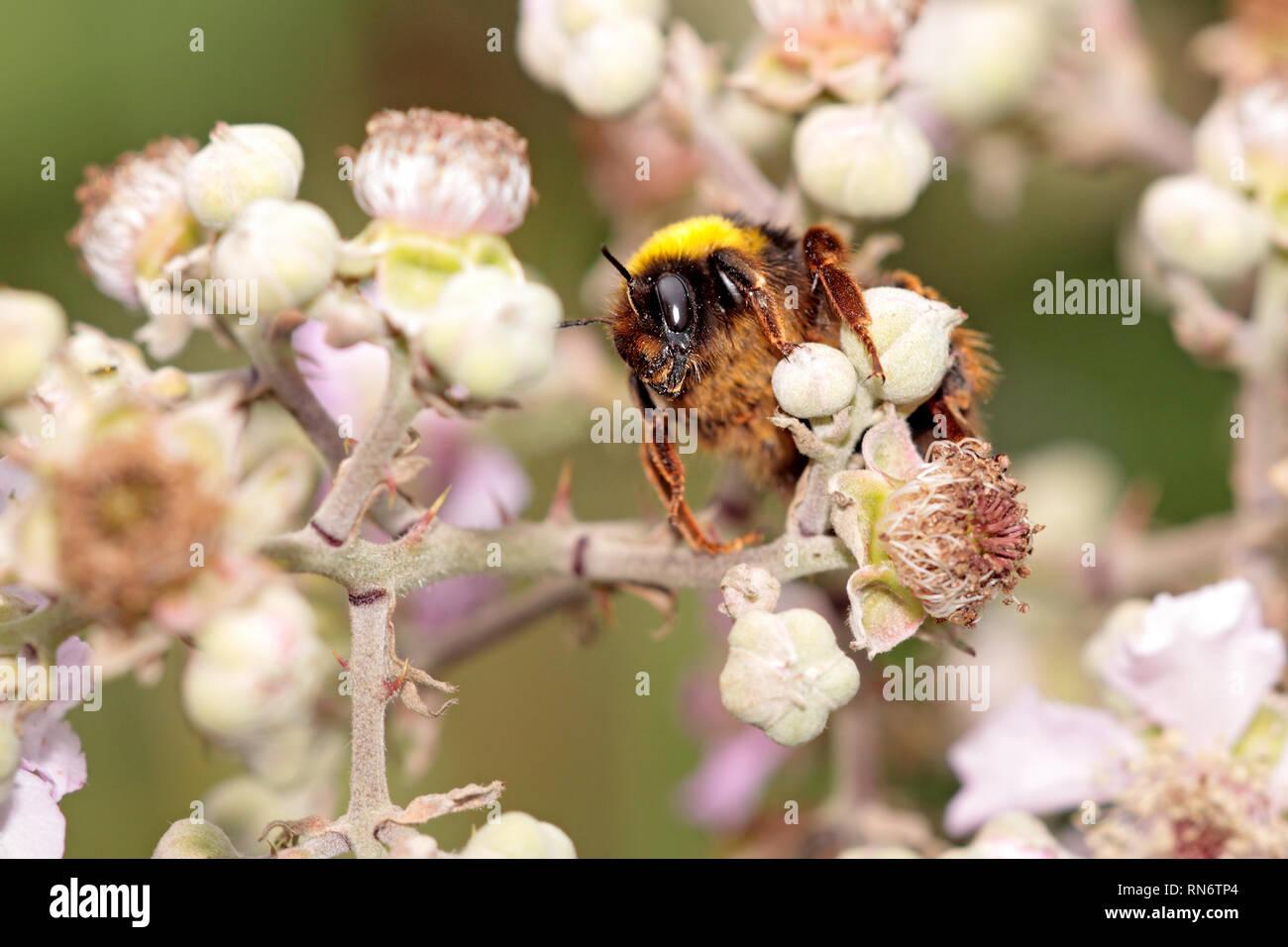 best service 2a82e 9746c Schöne Makro einer Hummel auf der Suche nach Pollen auf eine ...