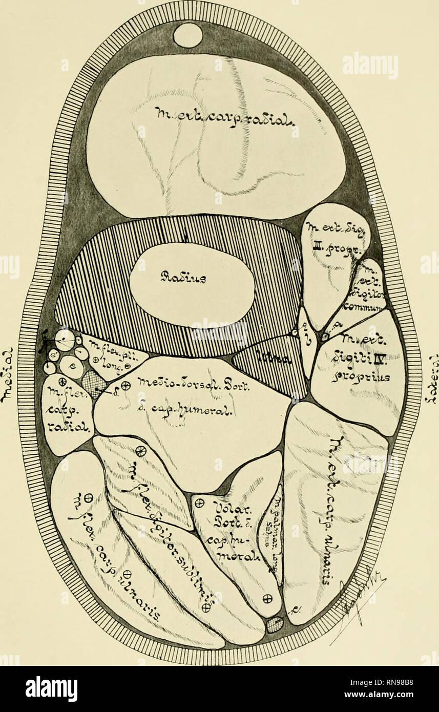 . Anatomische Hefte. Anatom. Hefte. I. Abt. 158. Heft (52. Bd. 1, H.3). Tafel 37. 1> clct Fis. 6. Gefrierquerschnitt in der Mitte des Vorderarmes von Bos taurus. a) die Sehne des M. extensor indicis. b) M. abductur pollicis Longus. c) N. ulnaris. d) N. mich - dianus. e) A. ulnaris. e1) A. radialis, f) V. mediana, mit Ästen, g) A. interossea dorsalis. (*) Nervenstamm von N. medianus. (+) Nervenstamm von N. ulnaris. Verlag von J. F. Bergmann in Wiesbaden.. Bitte beachten Sie, dass diese Bilder aus gescannten Seite Bilder, die digital für die Lesbarkeit verbessert haben mögen - Färbung und appeara extrahiert werden Stockbild