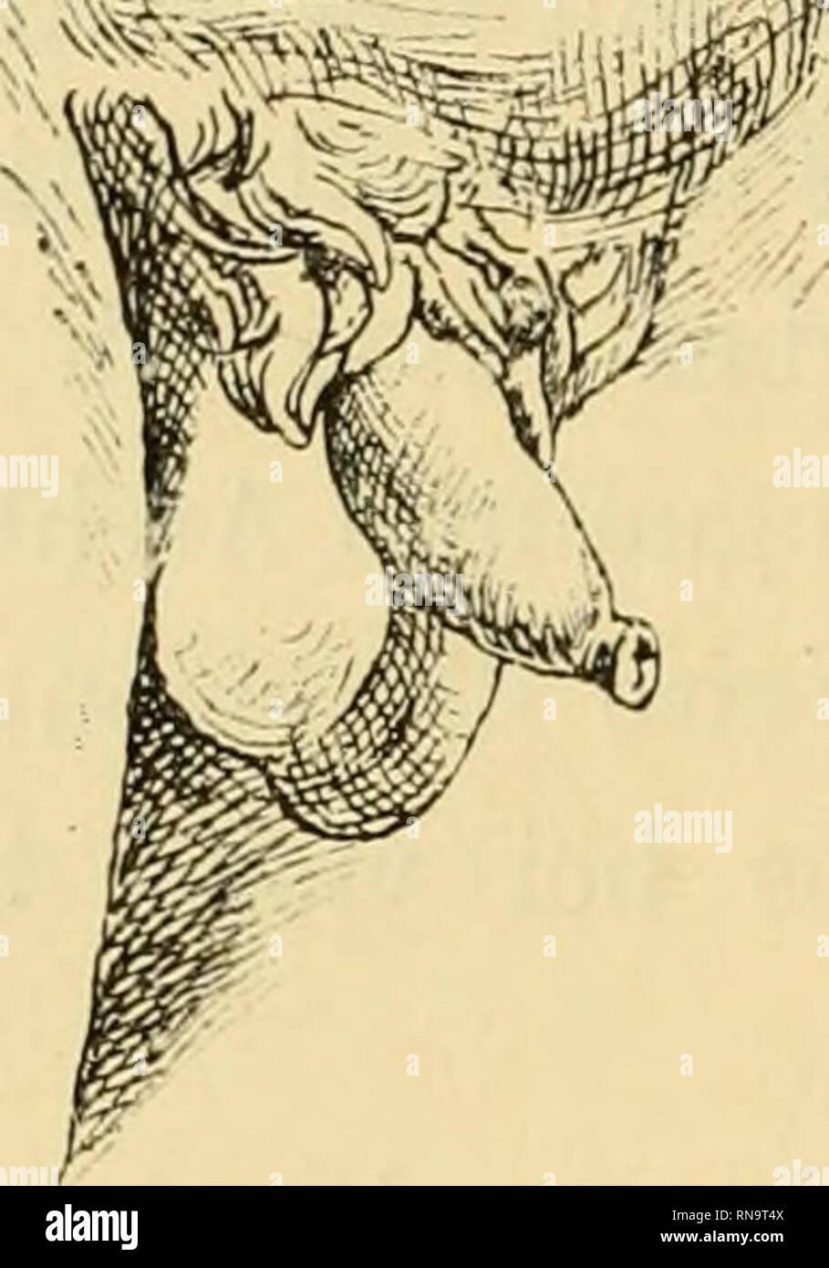 . Anatomische Hefte. 278 L. STIEDA, ist das Glied eines kräftigen Mannes, / einems Etruski - Schweizerische Zeitschrift Spiegel kopiert (Litt.-V. Nr. 20). Abb. 20 (2). Bitte beachten Sie, dass diese Bilder sind von der gescannten Seite Bilder, die digital für die Lesbarkeit verbessert haben mögen - Färbung und Aussehen dieser Abbildungen können nicht perfekt dem Original ähneln. extrahiert. München [etc. ] J. F. Bergmann Stockbild