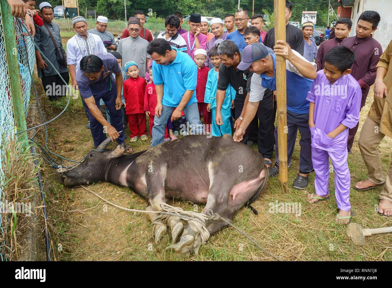 Kiulu Sabah Malaysia - Sep 24, 2015: eine Gruppe der malaysischen Muslime Vorbereitung ein Büffel Schlachten während des Eid Al-Adha Al Mubarak, das Fest der Sacri zu Stockbild