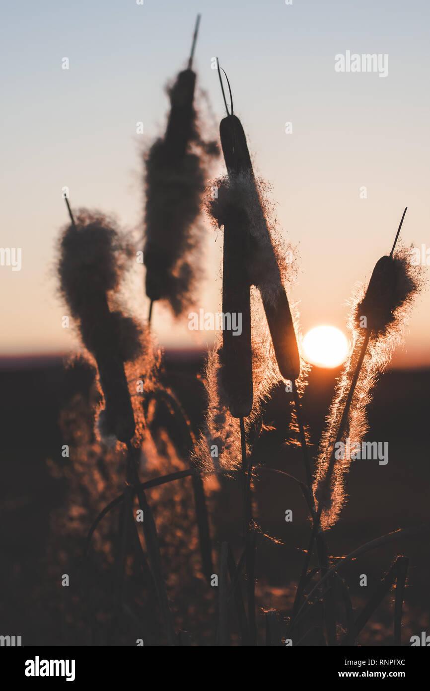Schilf mit Fussel bei Sonnenuntergang Stockbild