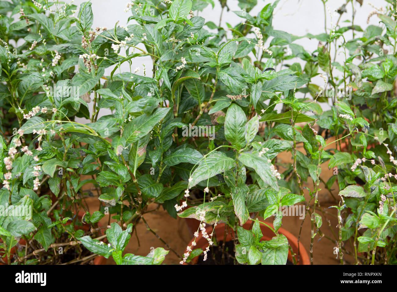 Persicaria Dolmetsch, natürlichem Indigo Färberpflanzen Stockbild