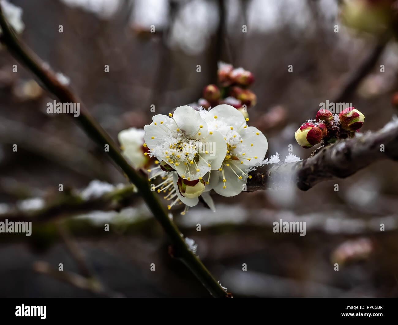 Schnee liegt auf eine kleine Gruppe von japanischen Pflaume oder ume, Blüten im Februar Schnee Sturm in Kanagawa, Japan Stockbild