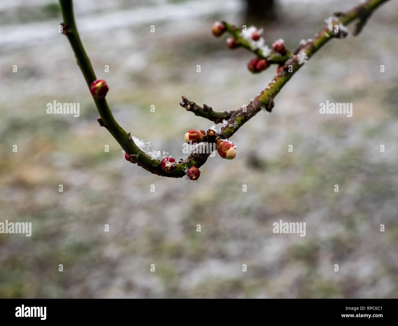 Schnee fällt auf eine blanke Japanische Pflaume oder ume, Ast voller Knospen, kurz vor der Eröffnung. Stockbild