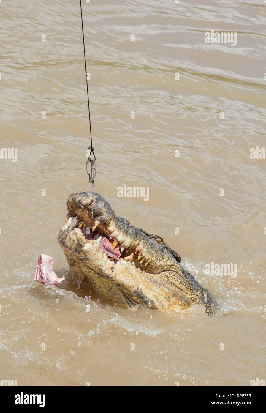 Salzwasser Krokodil springen für Raw Büffelfleisch während der Fütterung in der Adelaide River an einem sonnigen Tag in der mittleren Punkt, Northern Territory, Australien. Stockfoto