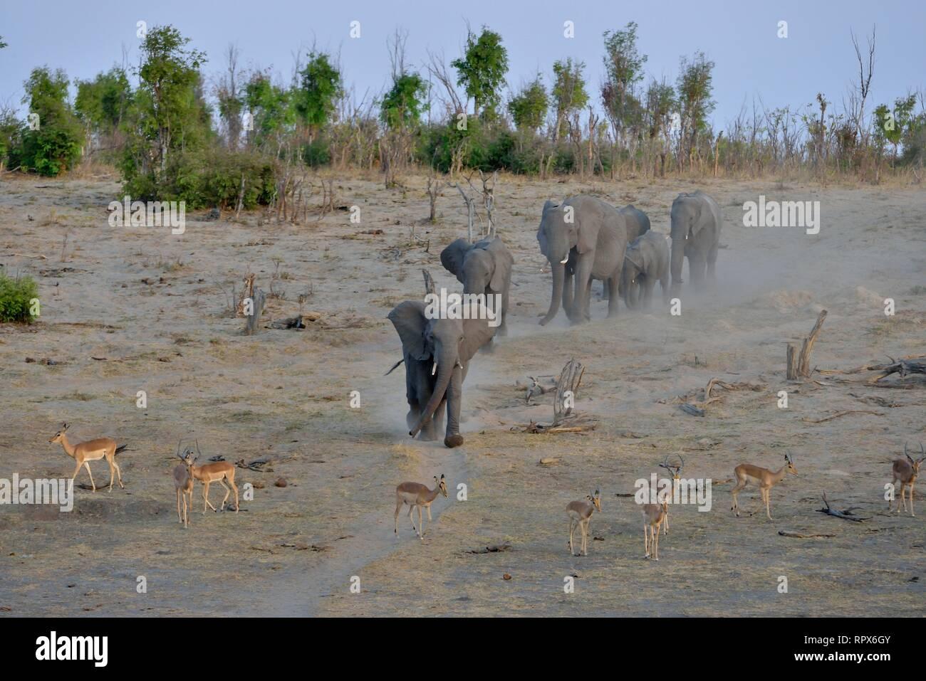 Zoologie, Säugetiere (Mammalia), Elefant (Loxodonta africana) in der Nähe der Somalisa Camp, Hwange National Park, Additional-Rights - Clearance-Info - Not-Available Stockbild