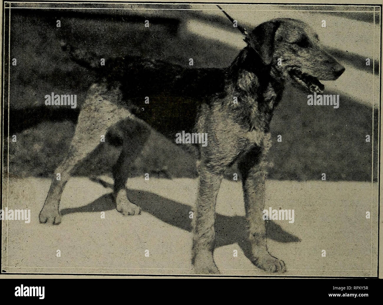 451c06c379bd7c Airedale Züchter  Hand buch. Airedale Terrier. 80 DIE AIREDALE ...