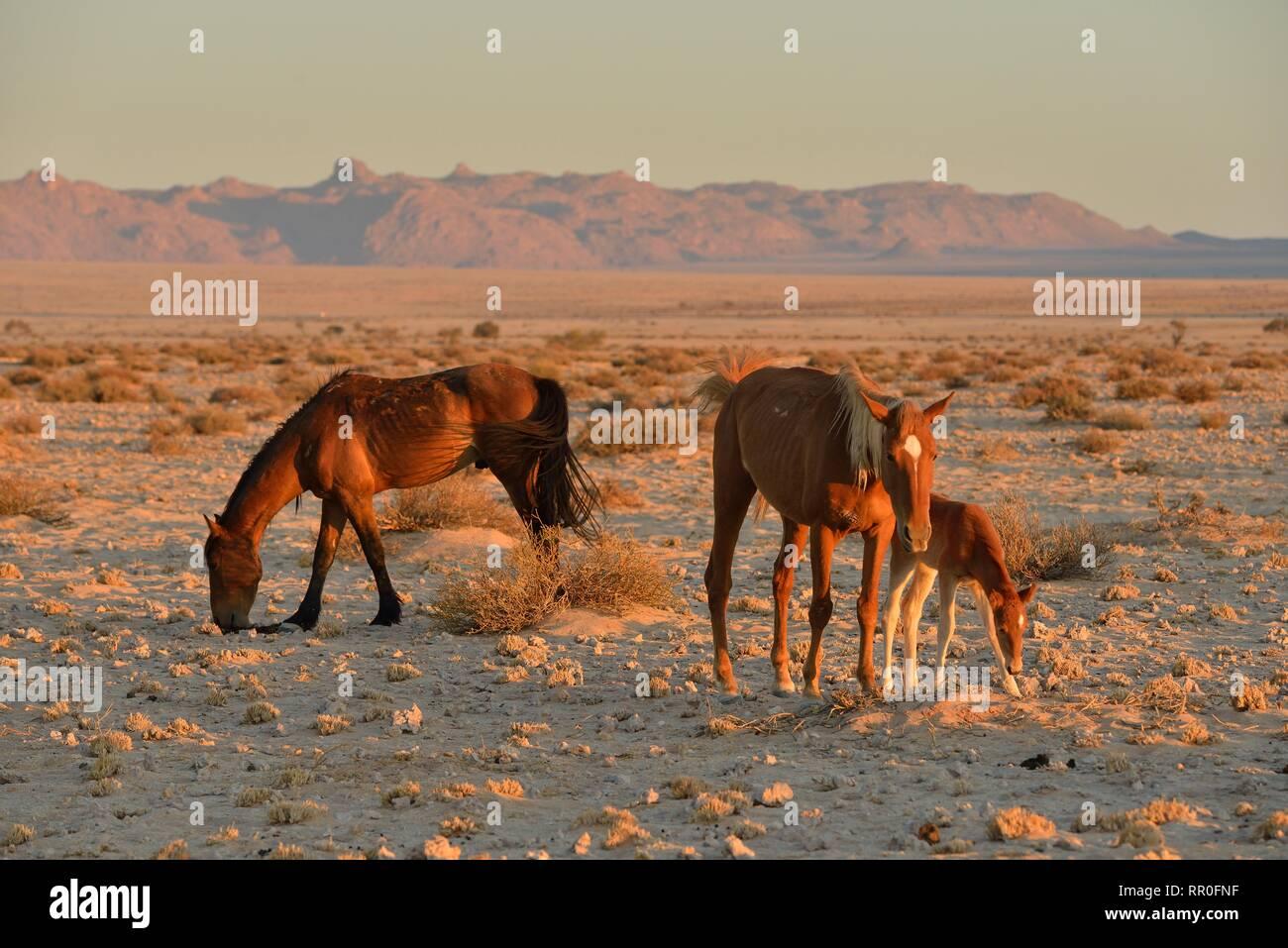 Zoologie, Säugetiere (Mammalia), Namib Desert Horse, namibischen Wild Horse oder Namib (Equus ferus) in der Nähe der, Additional-Rights - Clearance-Info - Not-Available Stockfoto