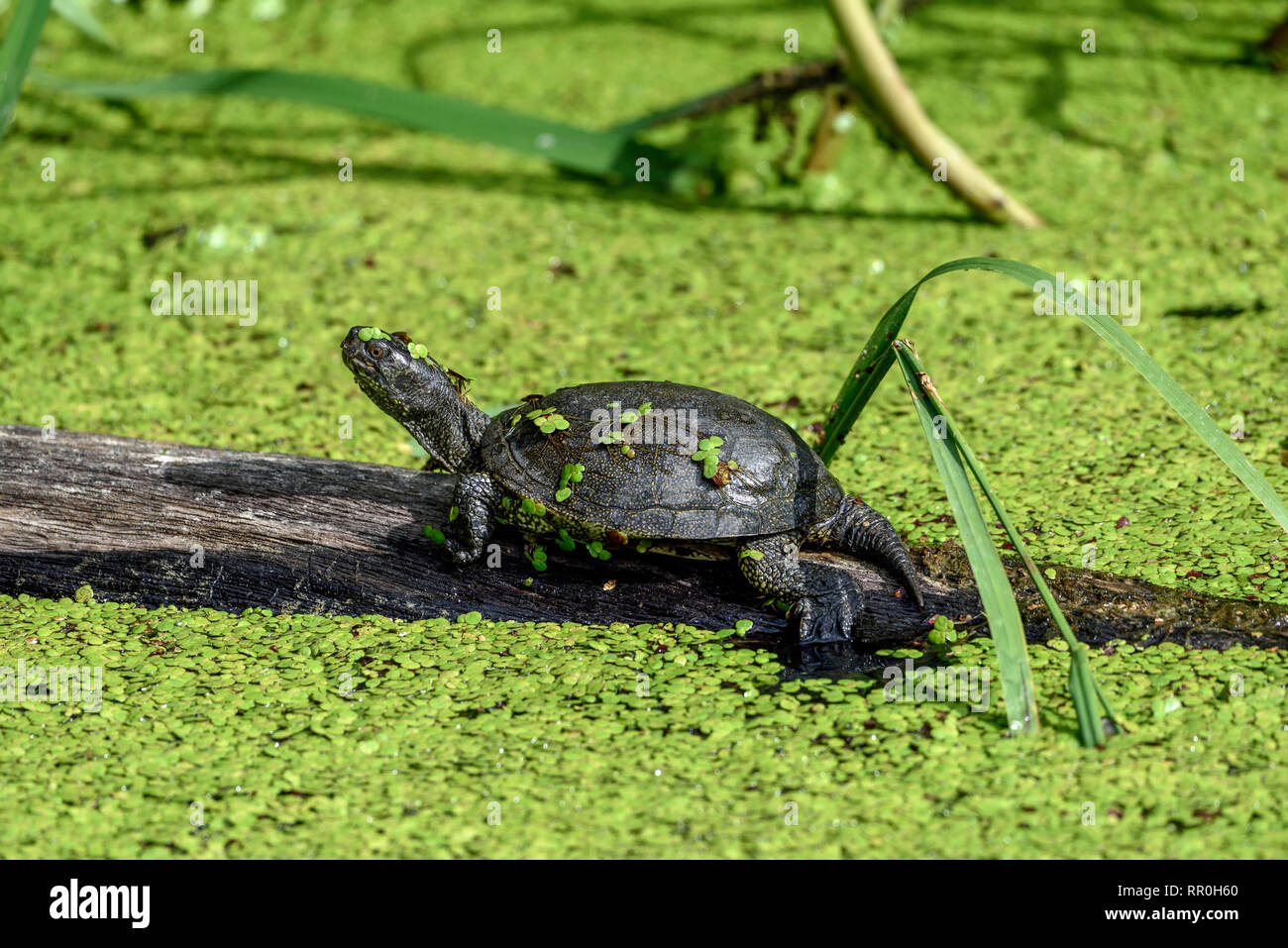 Zoologie/Tiere, Reptilien (Reptilia), Kontinent terrapin (Emys orbicularis), parc animalier de Sainte, Additional-Rights - Clearance-Info - Not-Available Stockbild