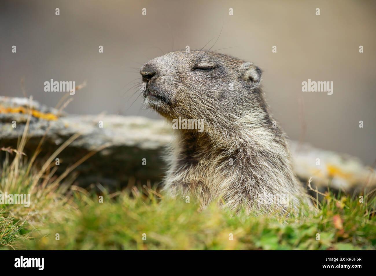 Zoologie, Säugetiere (Mammalia), alpine Murmeltier (Marmota marmota), Additional-Rights - Clearance-Info - Not-Available Stockfoto