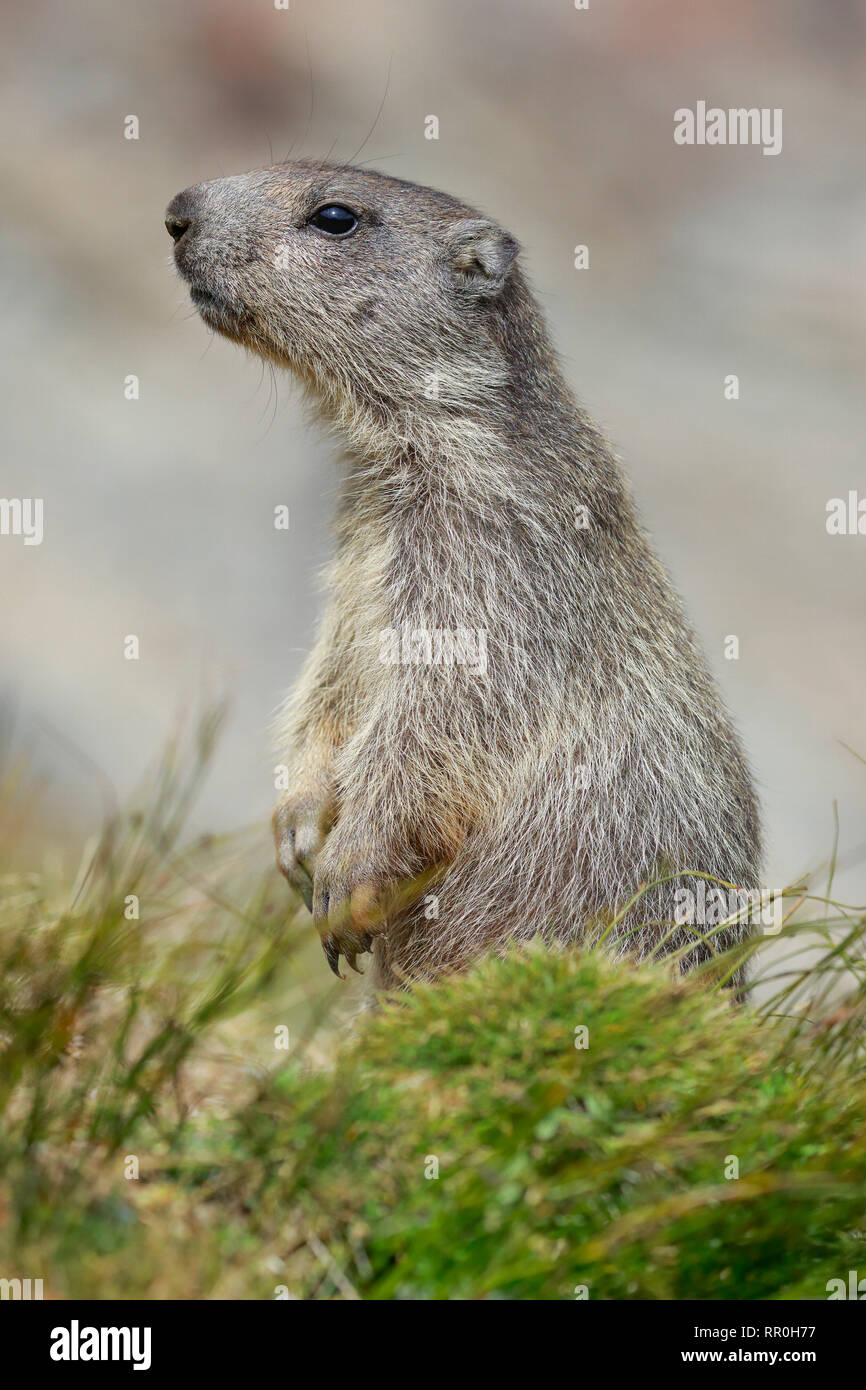 Zoologie, Säugetiere (Mammalia), alpine Murmeltier (Marmota marmota), Additional-Rights - Clearance-Info - Not-Available Stockfoto