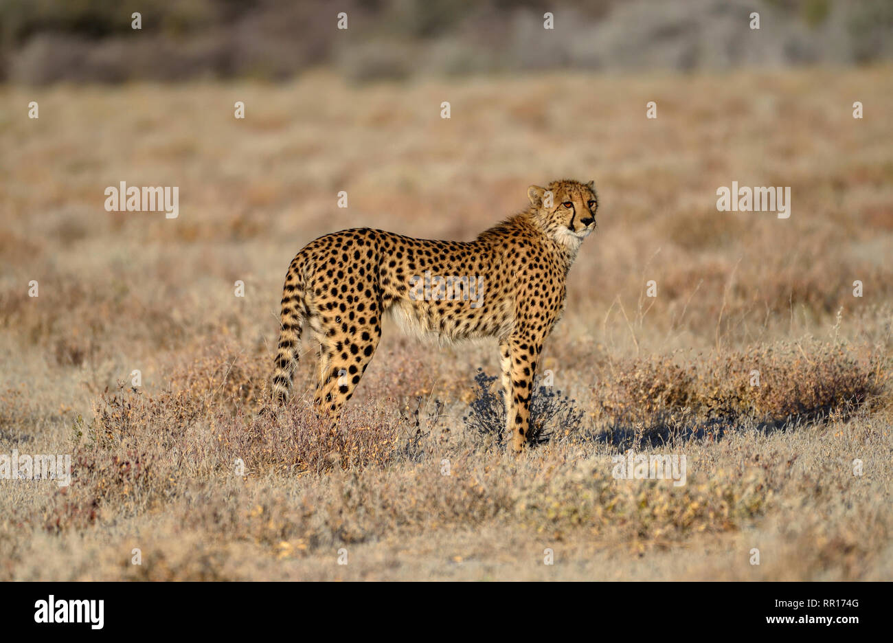 Zoologie, Säugetiere (Mammalia), Geparden (Acinonyx jubatus), männliche Tier, von Namutoni, Etosha Nationalpark, Additional-Rights - Clearance-Info - Not-Available Stockfoto