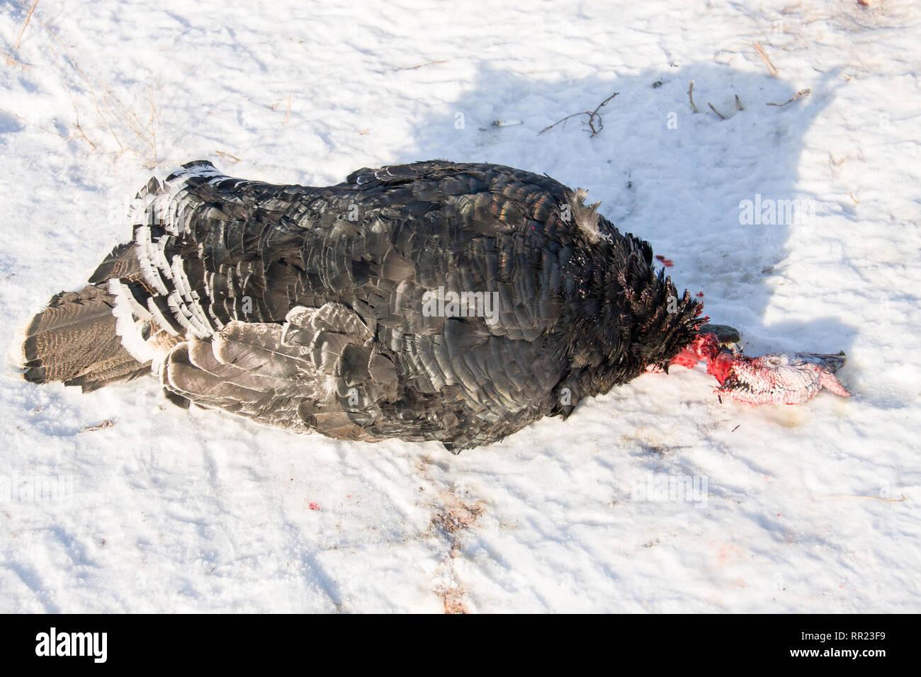 Die Türkei mit der abgetrennte Kopf im Schnee Stockbild
