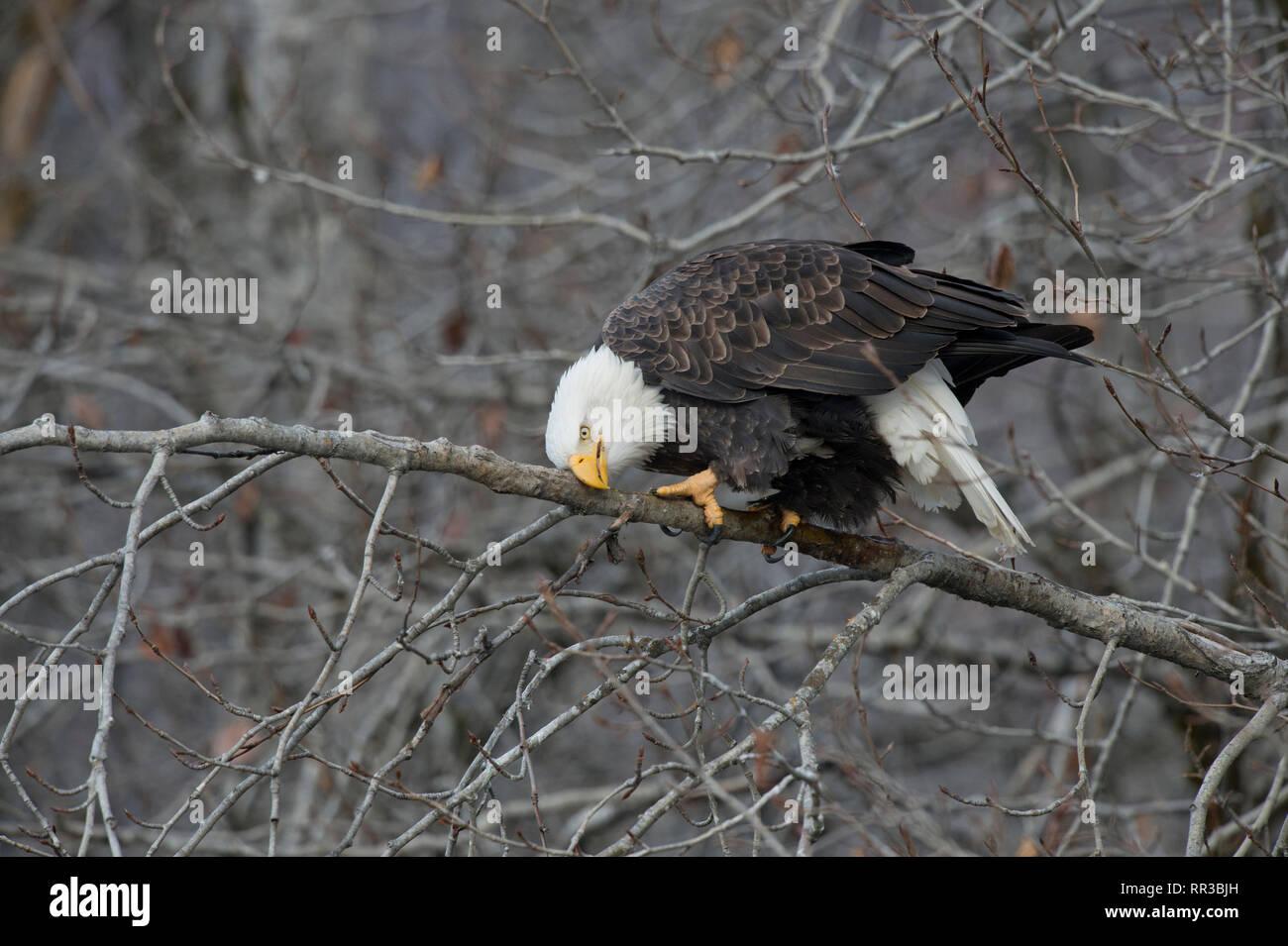 Nach der Weißkopfseeadler (Haliaeetus leucocephalus) seinen Schnabel Reinigung auf einem Zweig in den Alaska Chilkat Bald Eagle Preserve in der Nähe von haines Alaska Stockbild