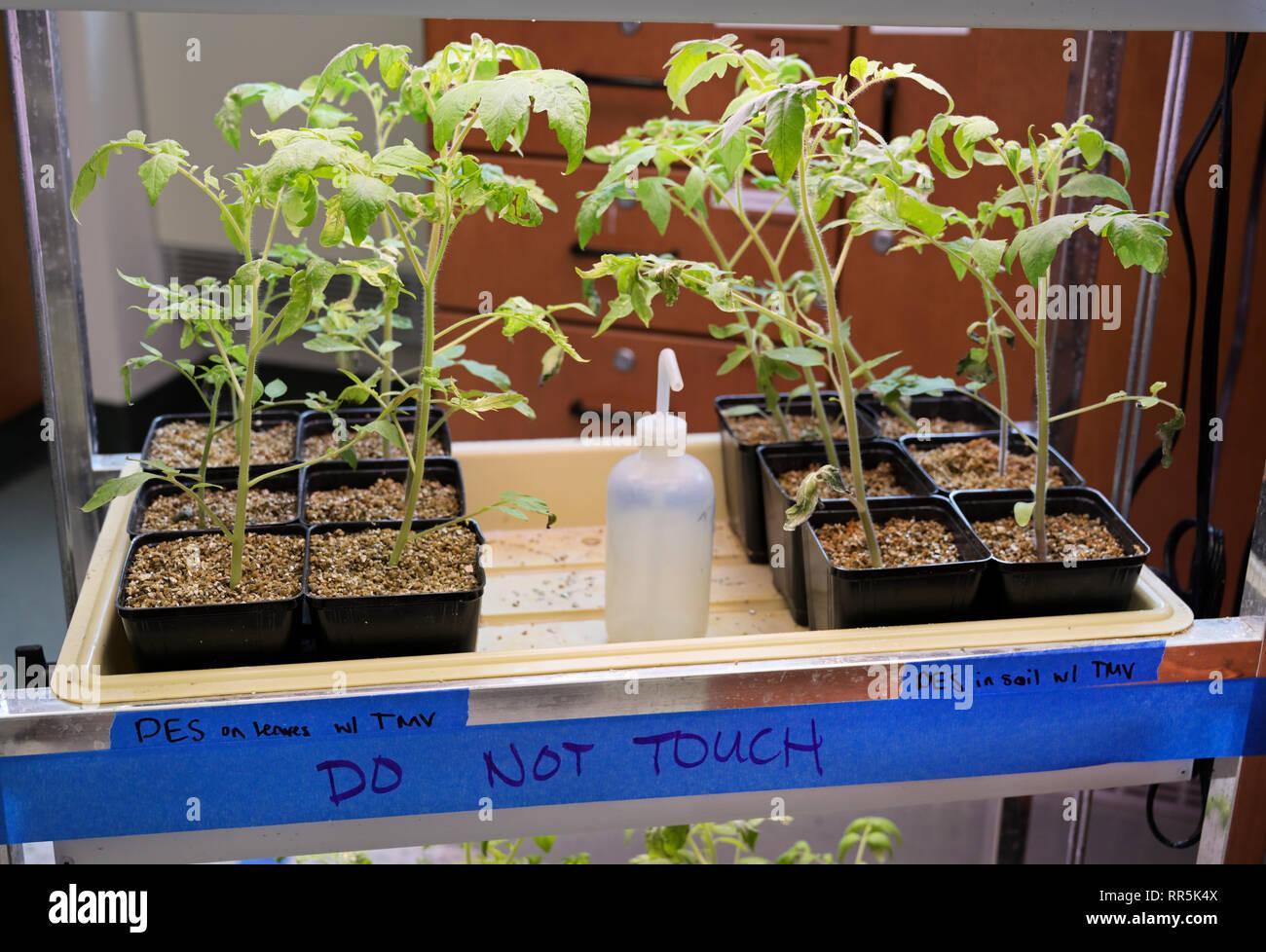 Experimentelle Pflanzen TMV Tobacco Mosaic Virus ausgesetzt unter vielfältigen ernährungsphysiologischen Bedingungen Stockbild