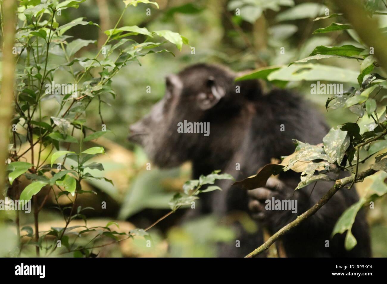 Wilde Schimpansen in freier Wildbahn, Kibale Forest Nationalpark in Uganda (Ostafrika) bei einer Wanderung durch den Wald, Heimat der Schimpansen Stockbild